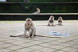 Monkey eating coconut at the temple, Ubud, Bali