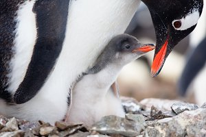 Penguin in its nest