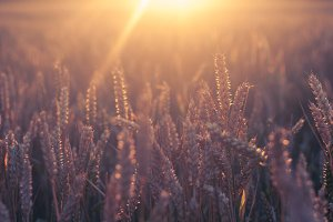 Wheat in golden light