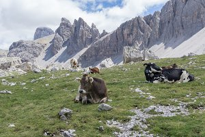 Cows in the Dolomites mountains