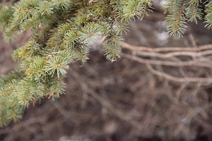 closeup of pine branches