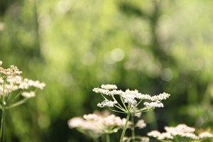 white wildflower