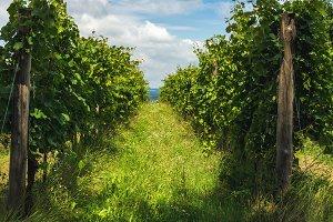 Green vineyards at Balaton lake