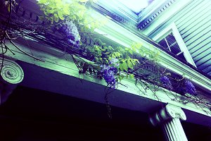Blooming Wisteria On Historic House