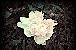 Vintage Peony Flower Blooms