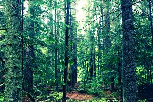 Adirondack Forest Trees