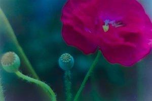 3 photo red poppy