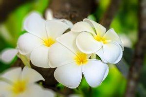White flower of Plumeria