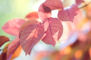 Pink leaves of trees in autumn