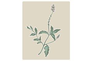 Verbena Vervain Flowering Plant