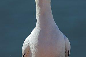 Northern Gannet (Morus bassanus)