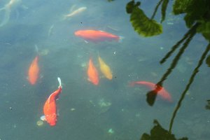 Red fishes in the fountain