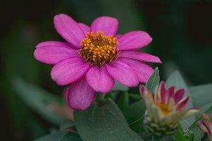 Vibrant Pink flower