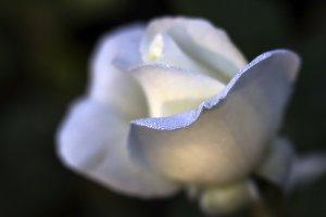 Dewdrops on White Rose