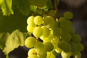Sunny grapes hanging