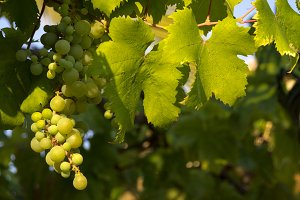 Vine leaves with grapes