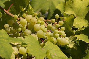 Grapes on a vine leaves