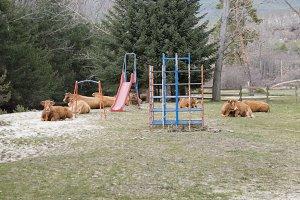 Cows on the swings