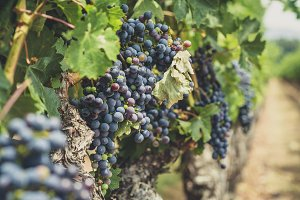 Delicious Grapes in the Vineyards 2