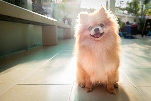 Dog Pomeranian Spitz