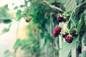 Blackberry Treat