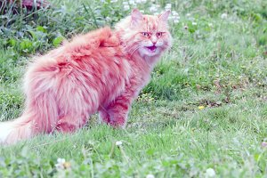 rustic red cat