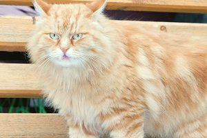 portrait rustic red cat