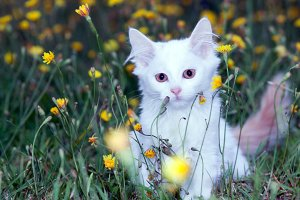 fluffy cat in dandelions