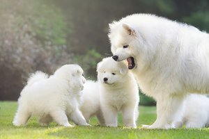 Female Samoyed dog with puppies
