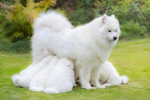 Puppies suckling mother