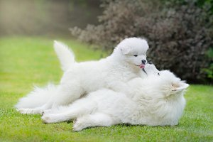 Samoyed dog with puppy lying