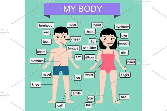 My body. Educational infographic - Illustrations