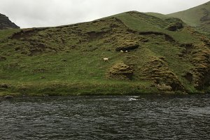 Sheep in south Iceland
