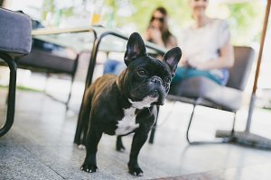 Beautiful French bulldog outdoors