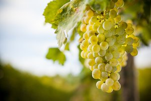 Organic Grapevine