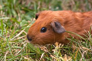 guinea pig in the grass