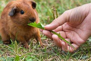hand feeding guinea pig