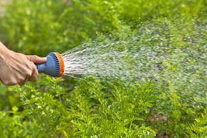 hand watering carrot in the garden