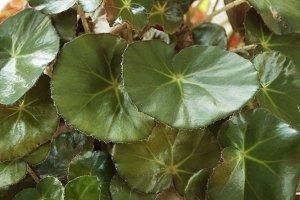 Begonia metallica plant
