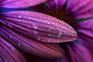 Dewdrops on Purple Petals