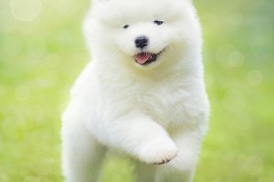 White puppy of Samoyed dog