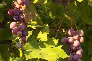 purple grapes hanging