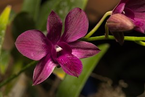 Macro orchid red