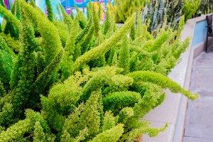 Green plant Foxtail fern