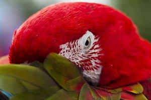 Ara parrot breed