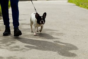 Dog breed French bulldog on a walk