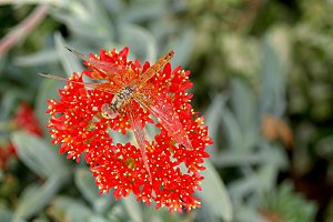 dragon fly on red flower