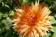 orange dahlia full sun