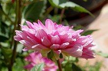 pink dahlia upright