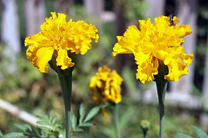 two marigold